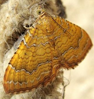 Papillons un peu plus insolites Dsc07315