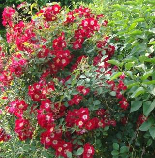 Rosiers buissons Dsc08111