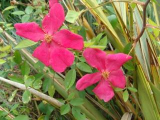 Rosiers buissons Dsc08210