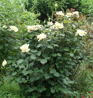 Rosiers buissons Dsc08212