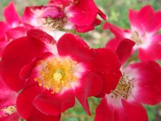 Rosiers buissons Dsc08710