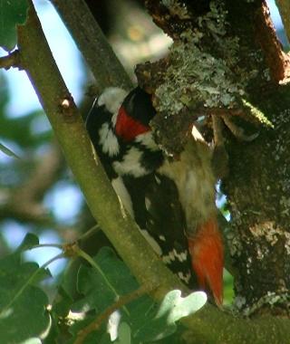 Les oiseaux du jardin (28 espèces d'oiseaux observées pour vous) Dsc09910