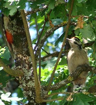 Les oiseaux du jardin (28 espèces d'oiseaux observées pour vous) Dsc09911