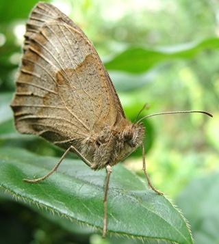 Papillons Dsc09913