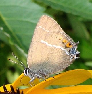 Papillons un peu plus insolites Dsc09914