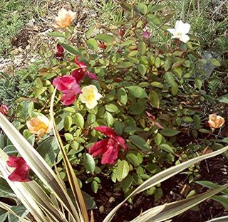 Rosiers buissons Rosier12