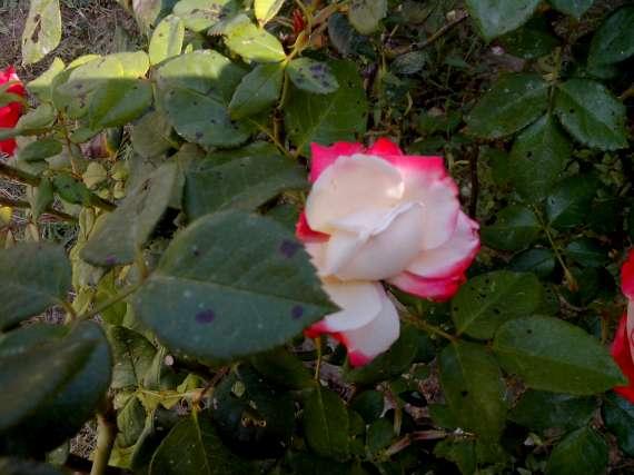 le royaume des rosiers...Vive la Rose ! - Page 13 15_jui10