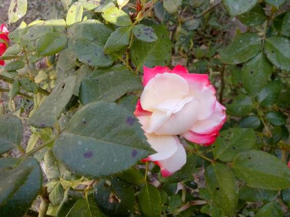le royaume des rosiers...Vive la Rose ! - Page 13 15_jui11