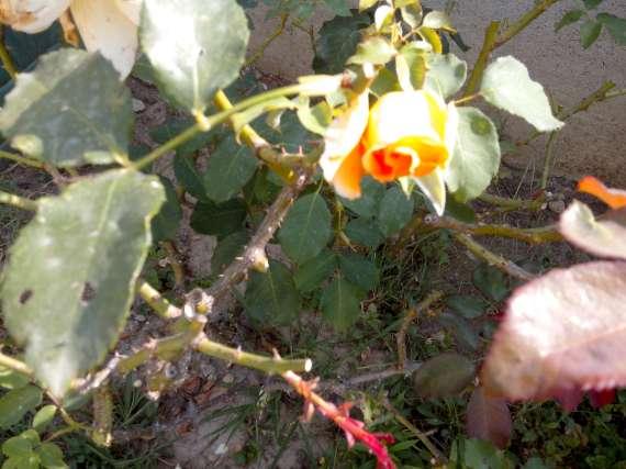 le royaume des rosiers...Vive la Rose ! - Page 13 15_jui12
