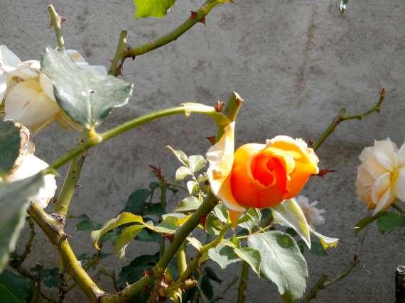le royaume des rosiers...Vive la Rose ! - Page 13 15_jui13
