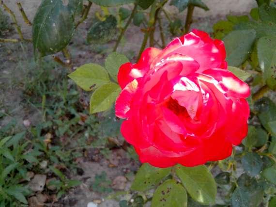 le royaume des rosiers...Vive la Rose ! - Page 13 15_jui14