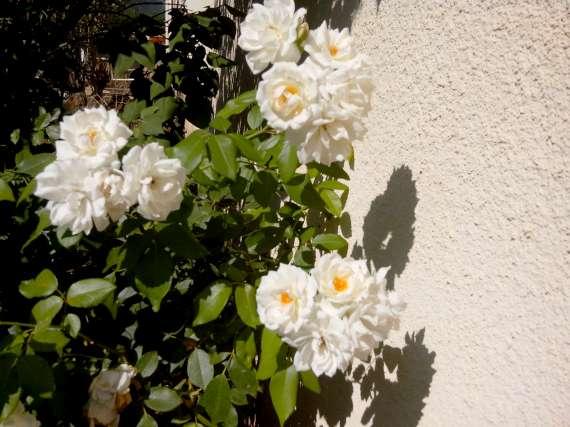 le royaume des rosiers...Vive la Rose ! - Page 13 22_jui16