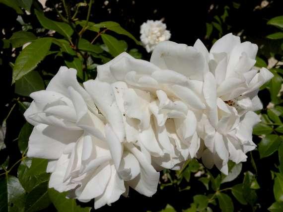 le royaume des rosiers...Vive la Rose ! - Page 13 22_jui17
