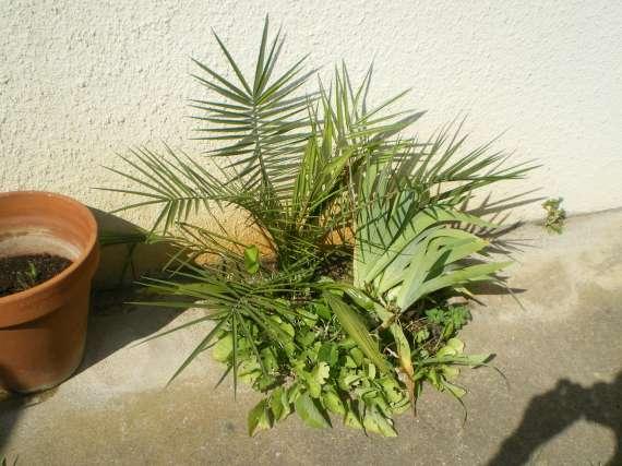semis de palmiers 27_jui10