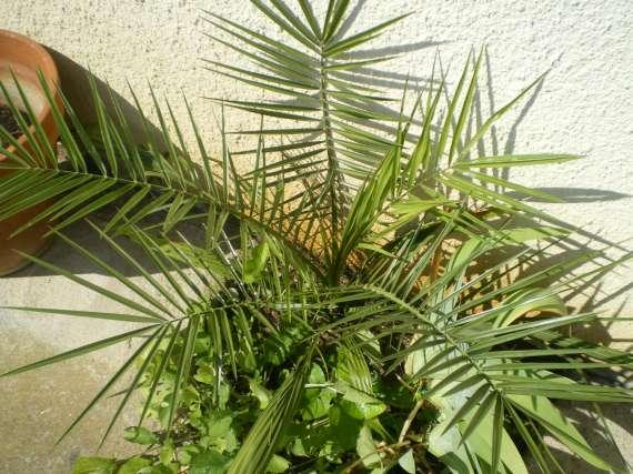 semis de palmiers 27_jui11
