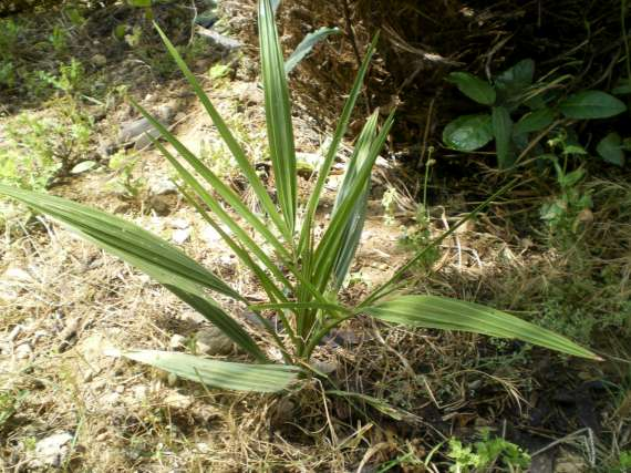 semis de palmiers 28_jui15