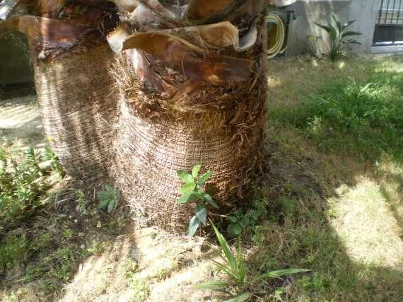semis de palmiers 28_jui16