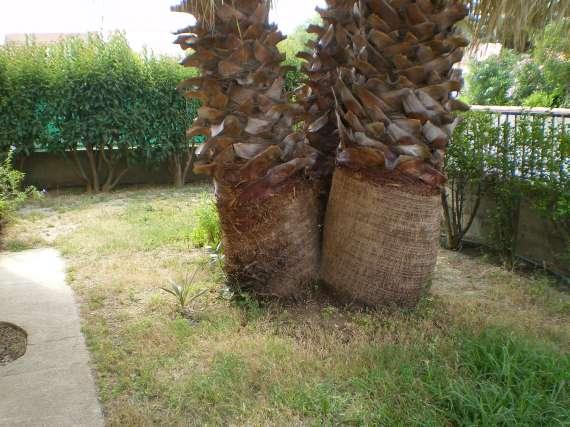 semis de palmiers 28_jui17
