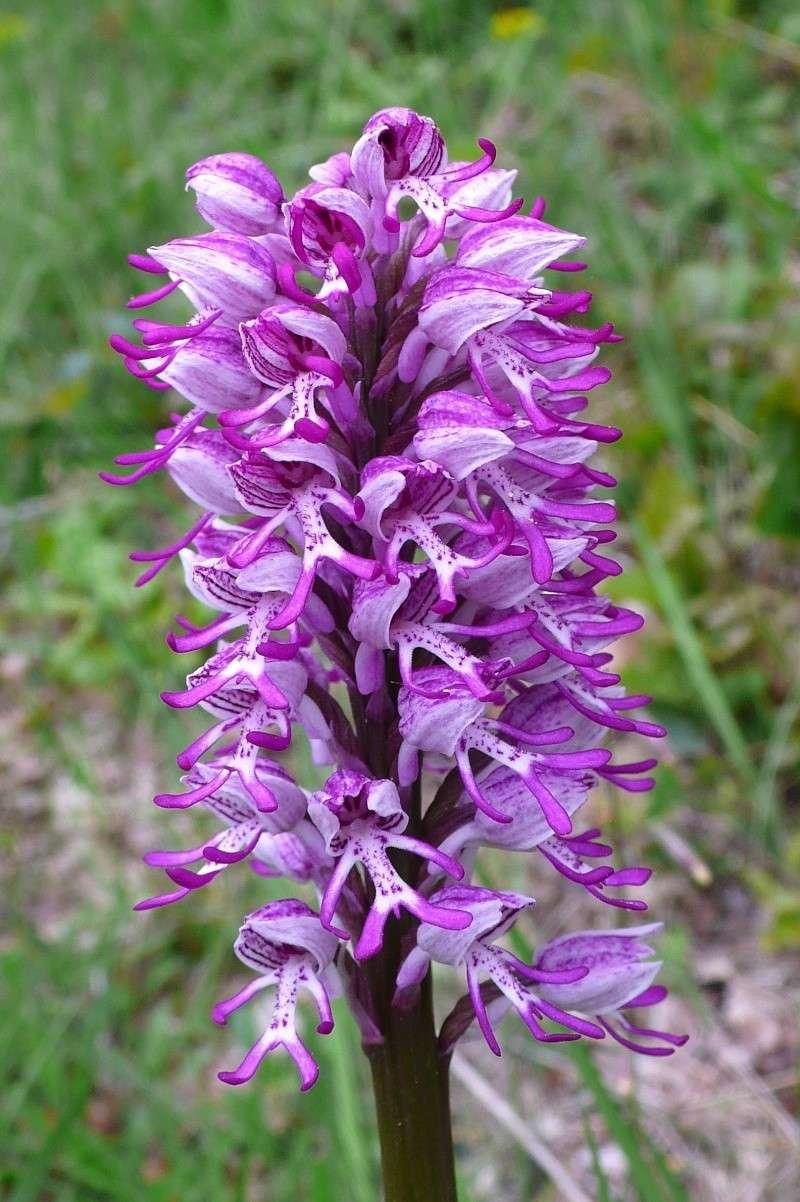orchis militaris × simia (Orchis x beyrichii ) P1130210