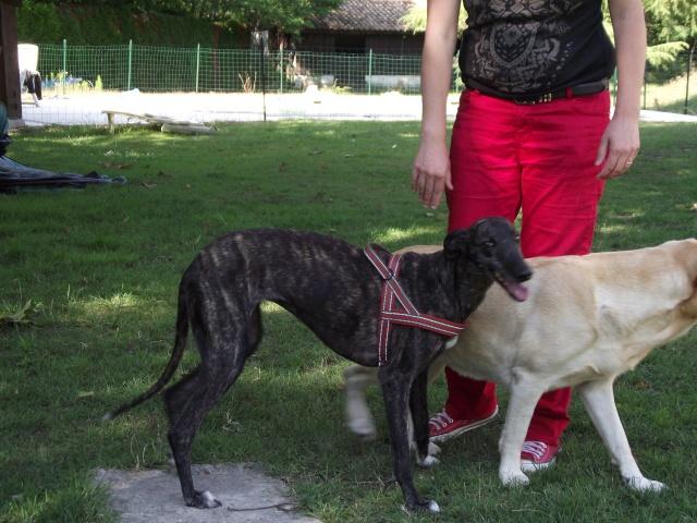 "Masha ,toute petite galga à l'adoption ""Scooby France"" Adoptée  - Page 3 Chiens83"