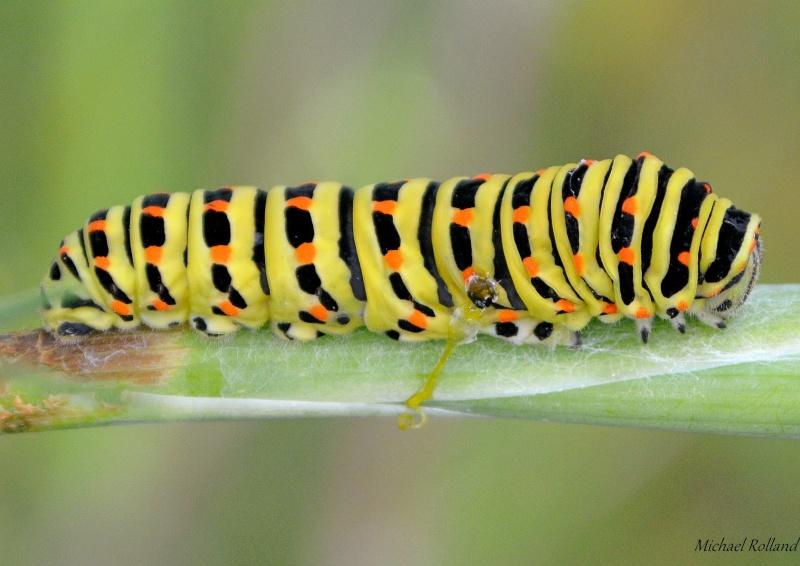Chenille Papilio Machaon Chenil16