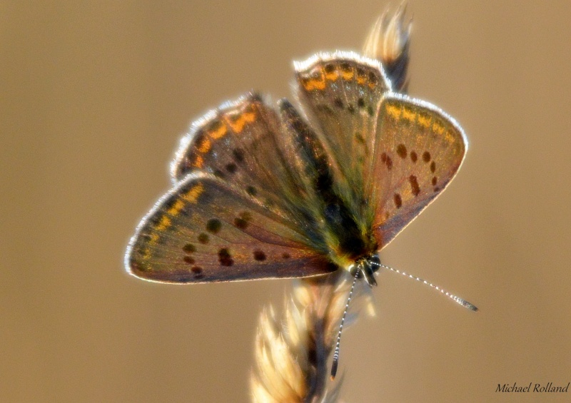 Aricia agestis Collie10