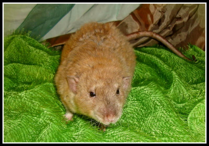 picpus - ETR CAMA Ginger Bread x PRH-RMM Picpus Ginger10