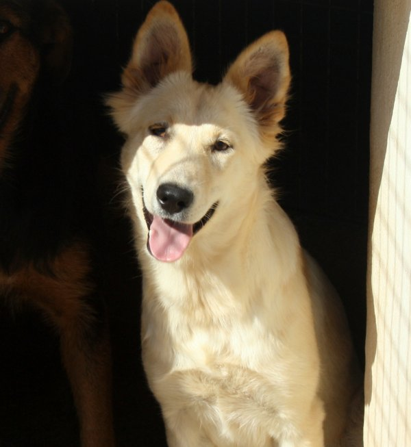 TONA - croisée chien de berger / labrador - URGENCE EUTHANASIE Tony310