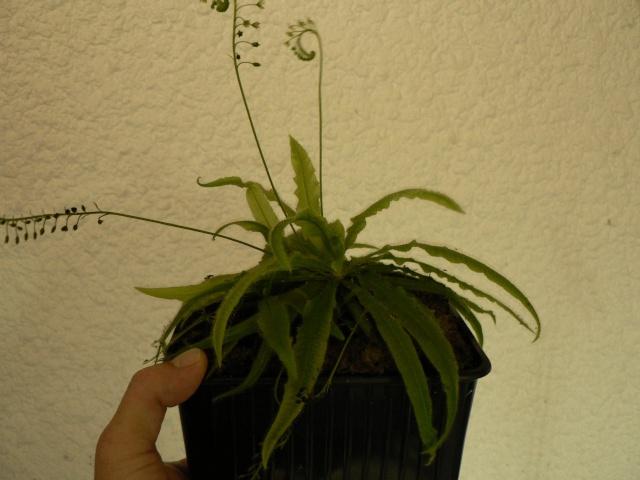 Drosera adelae forme géante P1120711