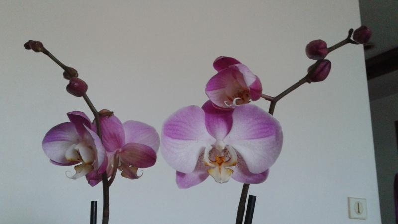 Bon bah je me lance :) Phalaenopsis 20140719