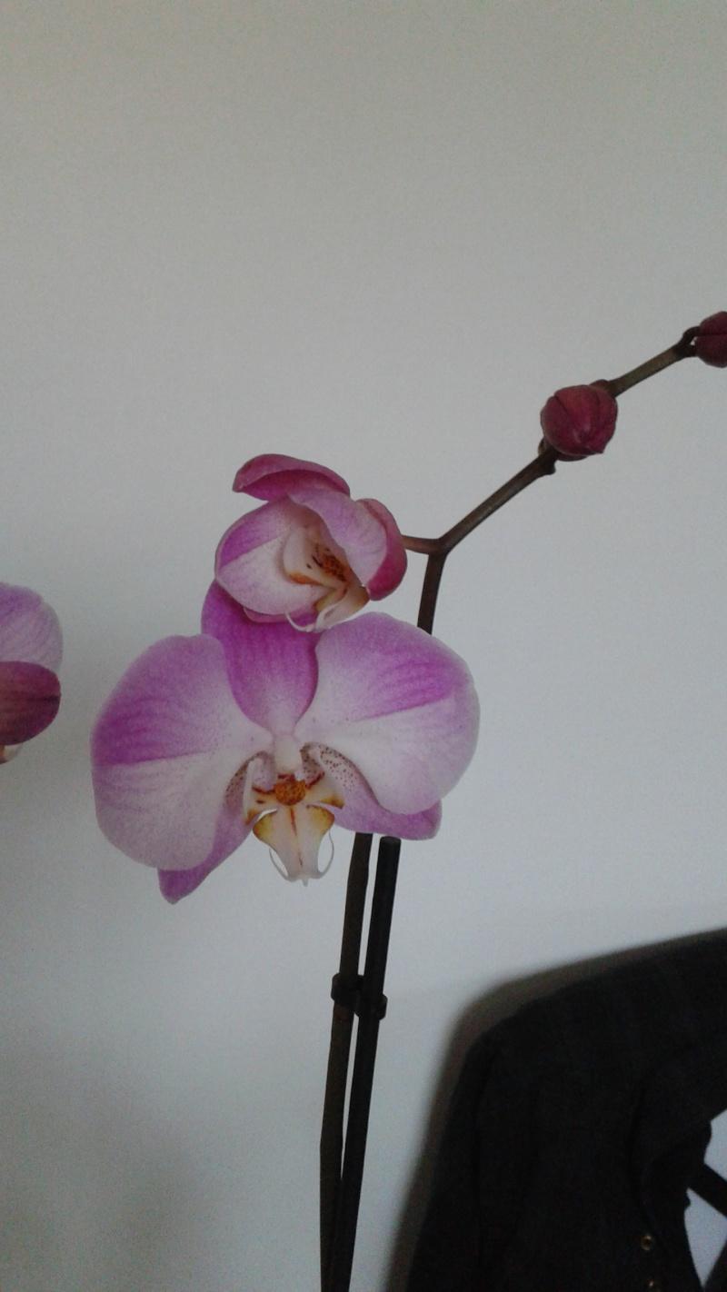 Bon bah je me lance :) Phalaenopsis 20140721