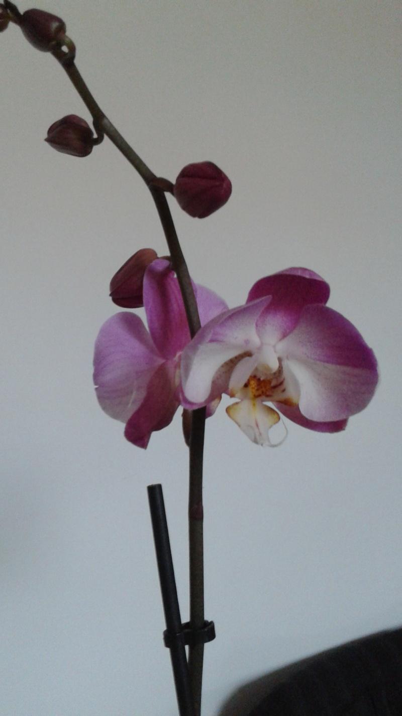 Bon bah je me lance :) Phalaenopsis 20140724