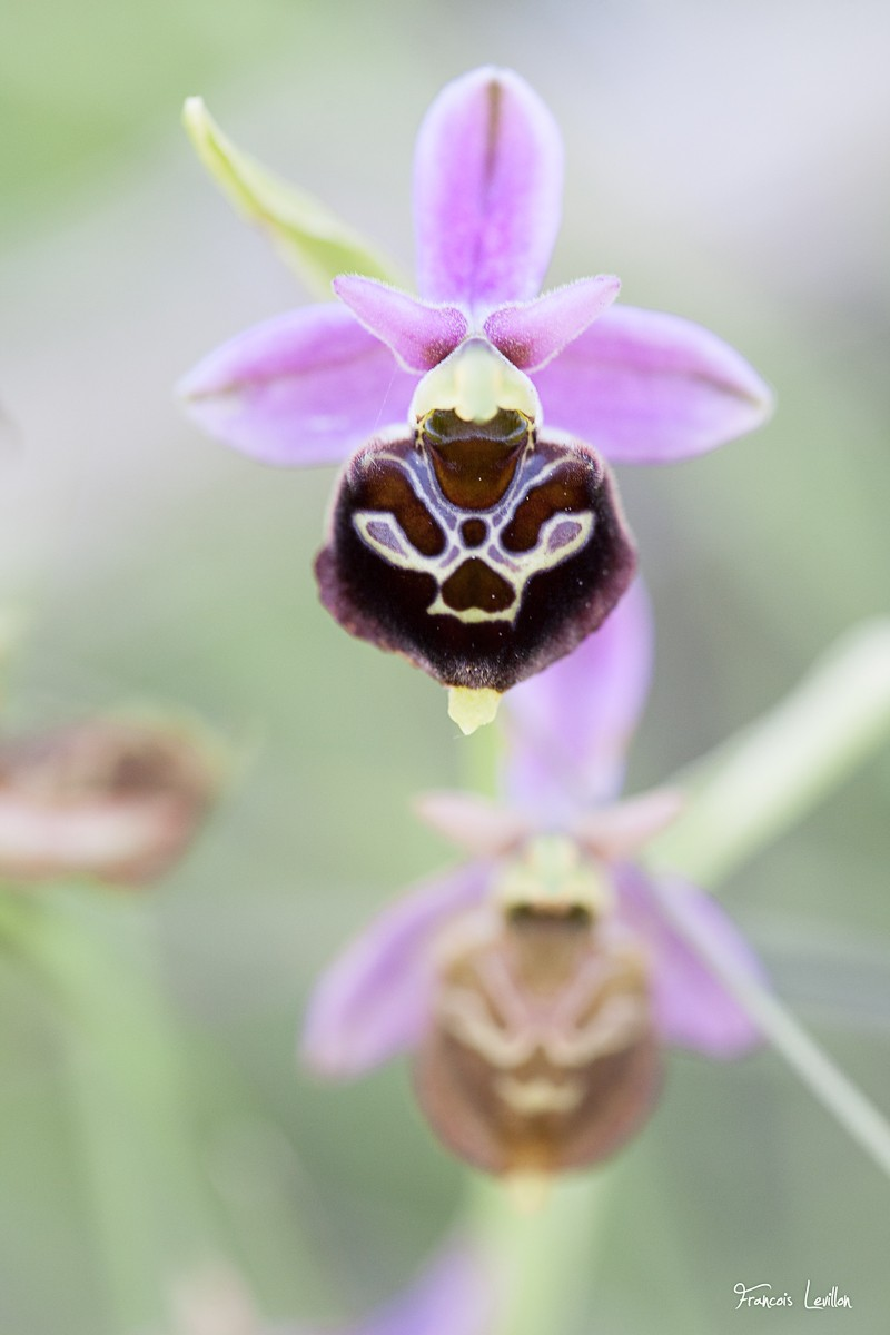 Ophrys araneola X Ophrys fuciflora Ophrys12