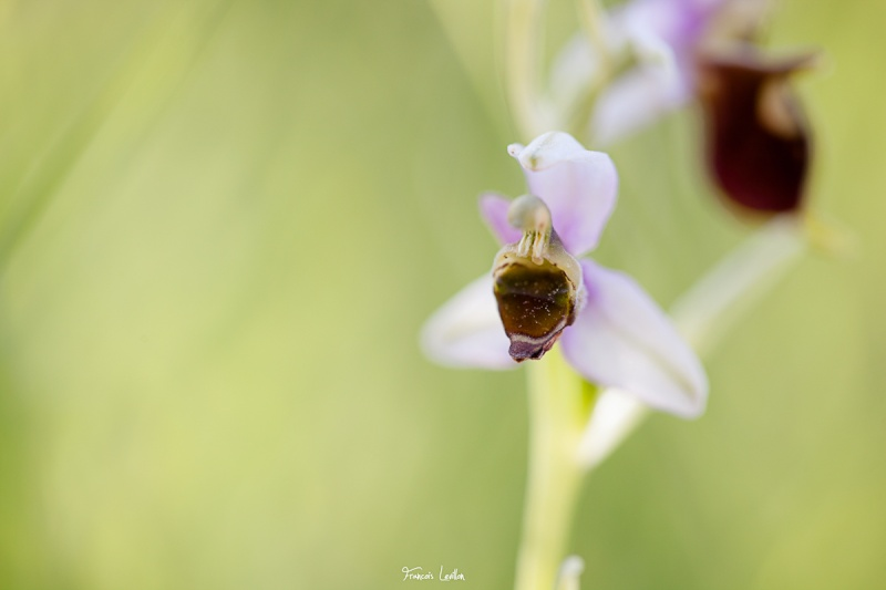 Absence de labelle Ophrys13