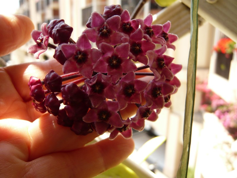 """quelques floraisons et mon """"jardin"""" en terrasses P1040418"""