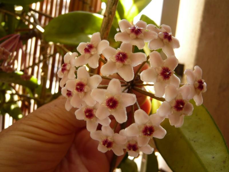 """quelques floraisons et mon """"jardin"""" en terrasses P1040419"""