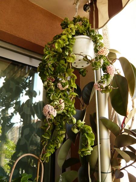 """quelques floraisons et mon """"jardin"""" en terrasses P1040421"""