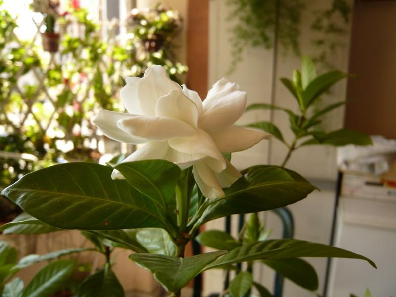 """quelques floraisons et mon """"jardin"""" en terrasses P1040422"""