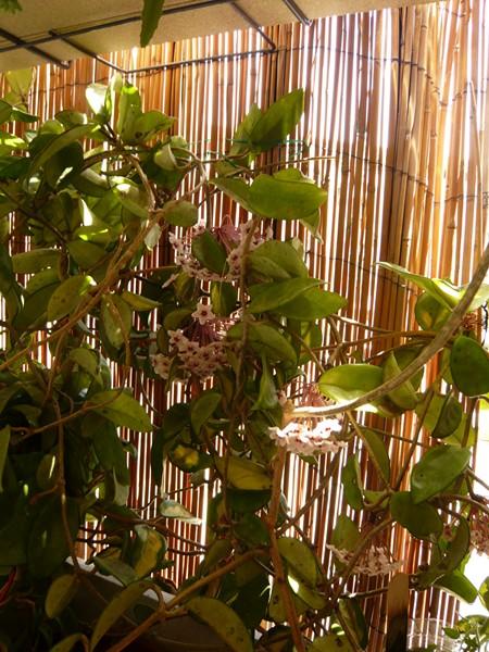 """quelques floraisons et mon """"jardin"""" en terrasses P1040425"""