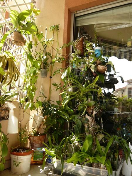 """quelques floraisons et mon """"jardin"""" en terrasses P1040427"""