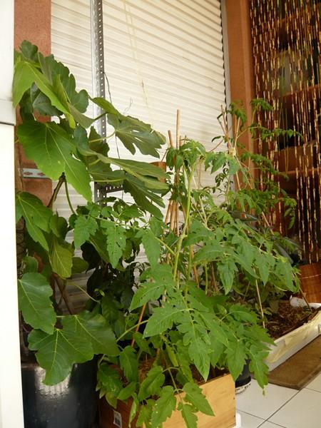 """quelques floraisons et mon """"jardin"""" en terrasses P1040430"""