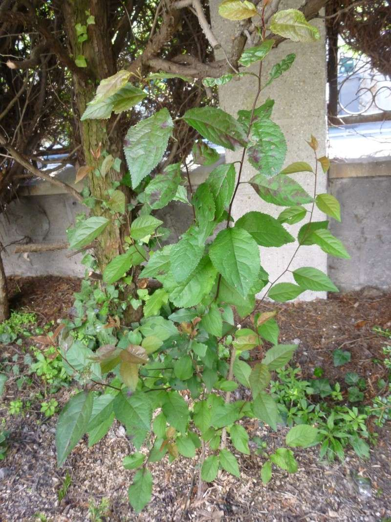 arbuste à feuilles rougeatres P1030815