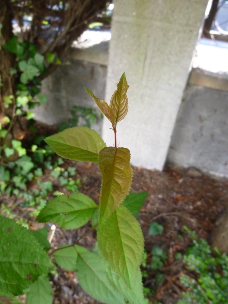 arbuste à feuilles rougeatres P1030817