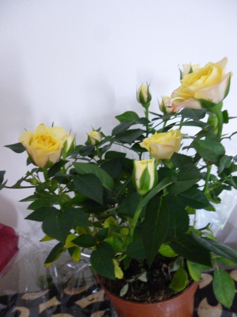 identification petit rosier.. P1030820