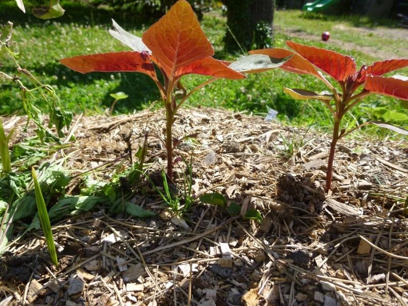 Confusion arroche rouge et amaranthe P1040013