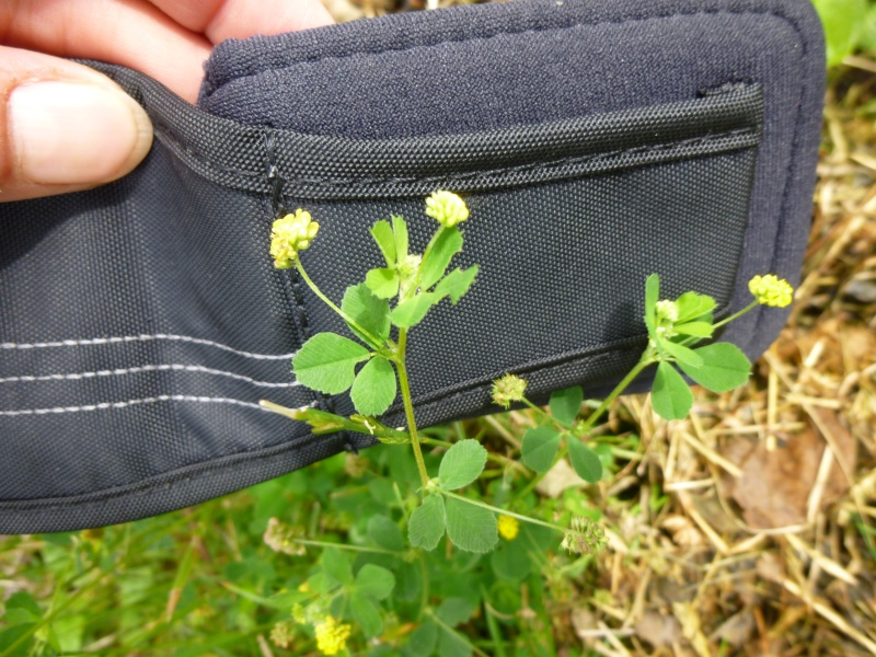 fleur jaune mauvaise herbe 2 P1040116