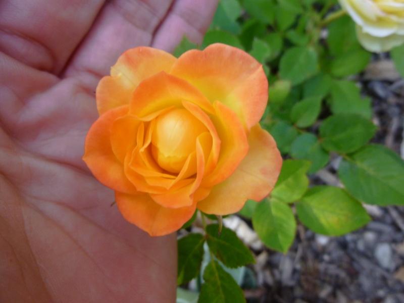 identification petit rosier.. P1040813