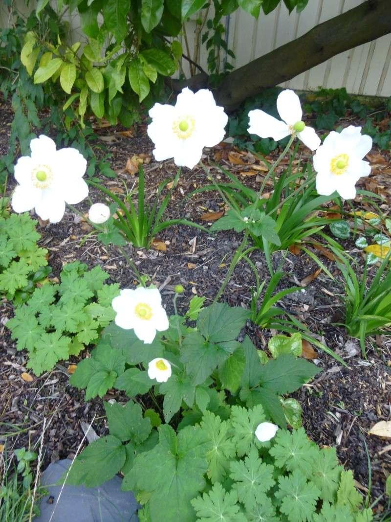 anemones du japon  - Page 4 P1050816