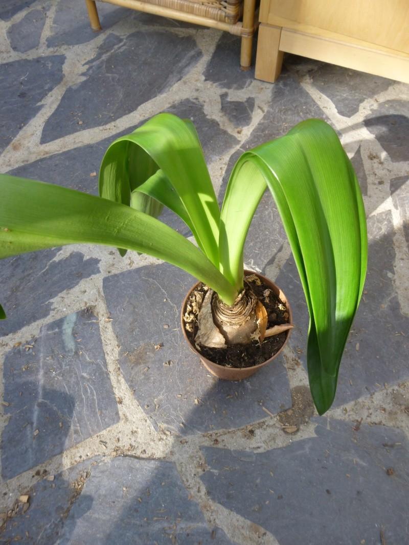 ressemble à amaryllis, plante d'intérieur? P1050913