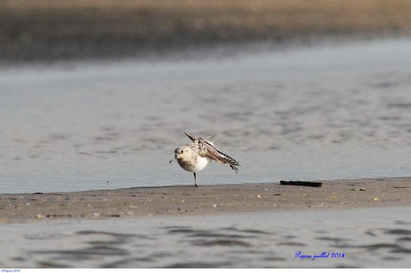 Bécasseau sanderling Papou115